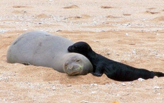 RK22 gave birth to her fourth pup, KP1, on May 7. The Kaua'i Monk Seal Watch Program anticipates three to four additional births during Kaua'i's 2014 pupping season, which has just started.