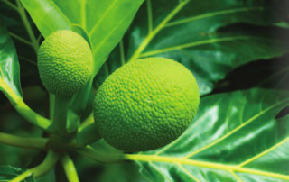 Ulu, or breadfruit.