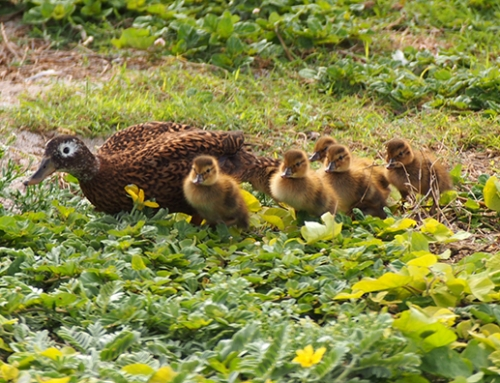 Laysan Ducks Translocation to Kure is a Success, 19 Ducklings Spotted (w/ video)