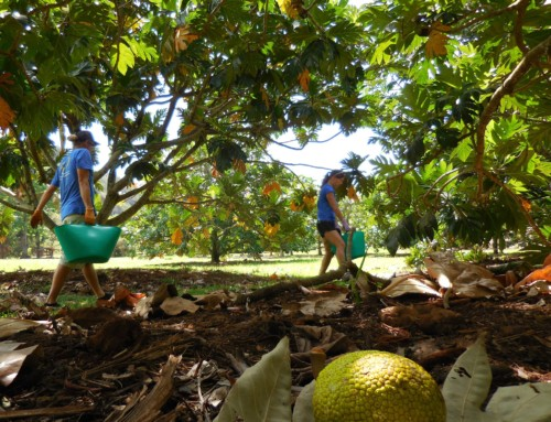 Breadfruit Institute Seeks Agroforestry Volunteers for Phase II Project Expansion