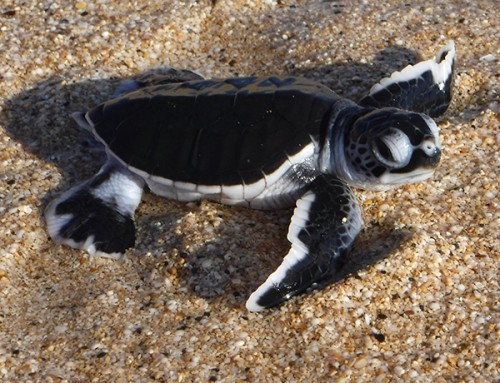 Green Sea Turtles Hatch at PMRF