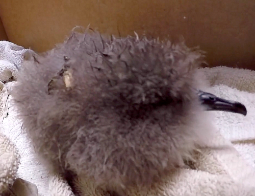 Orphaned Newell's Shearwater Chick Rescued, Thriving (w/ video)