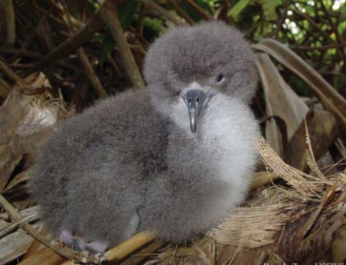 Rescued Newell's Shearwater Chick Heads to Sea