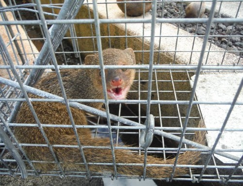 Mongoose on the Loose Caught at Lihu'e Airport