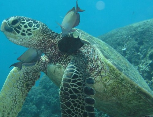 UH Scientists Grow Green Turtle Skin in Lab