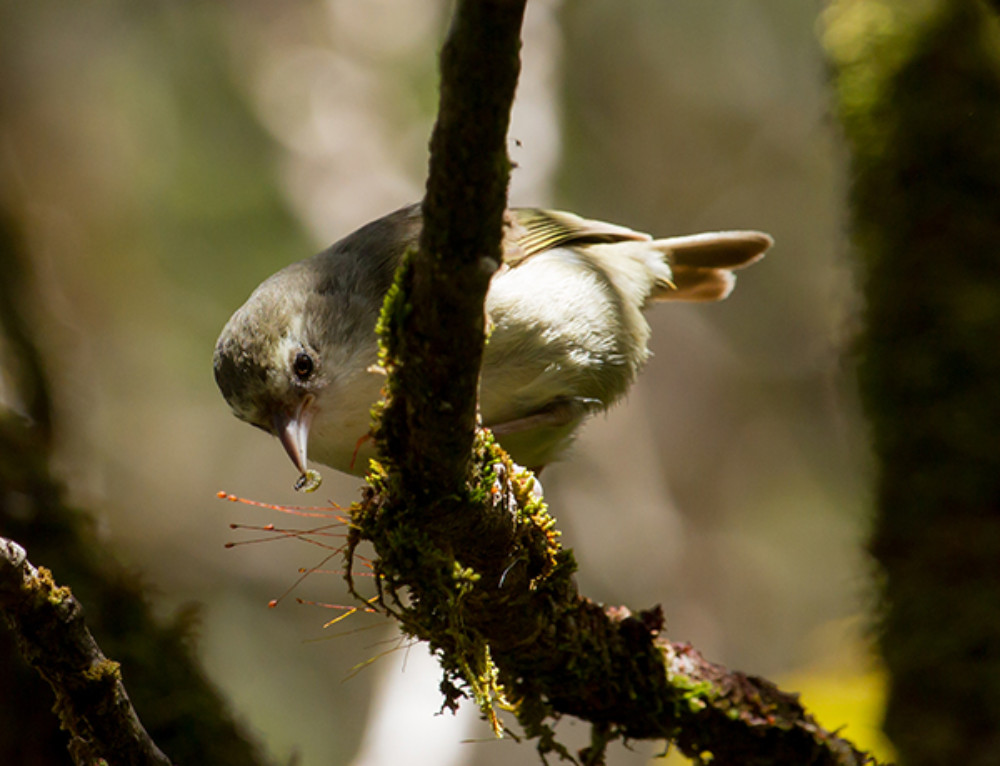 Should We Consider Translocating Kaua'i Forest Birds?