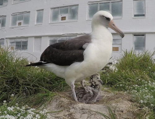 World's Oldest Known Wild Bird Hatches Chick at Midway Atoll