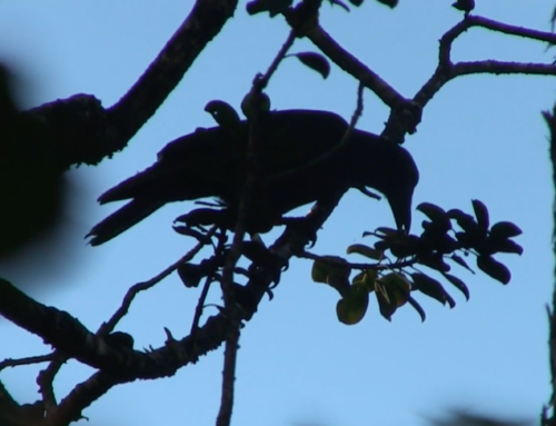 UH: Increasing Hawaiian Crow Hatching Rate Essential