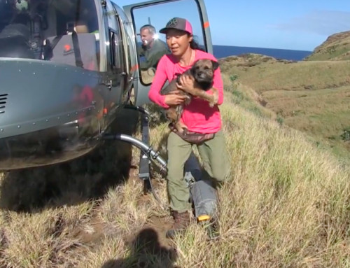 Step Aside Kitty — Dogs Deployed on Lehua to Find Remaining Rats (w/ video)