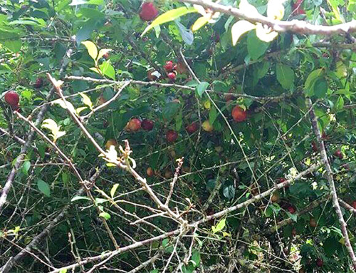 Koke'e Plum Season Opens with Expected Poor Crop