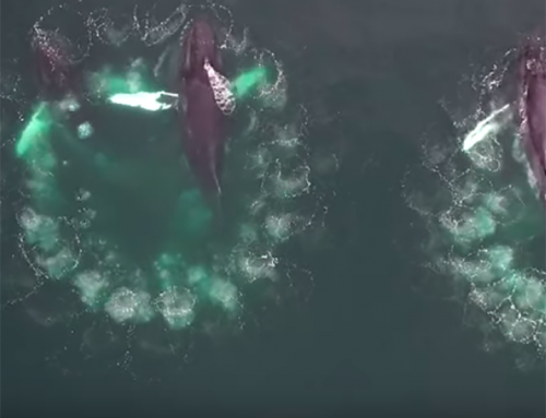 Researchers Document Whale Bubble-Net Feeding in Groundbreaking Footage (w/ video)