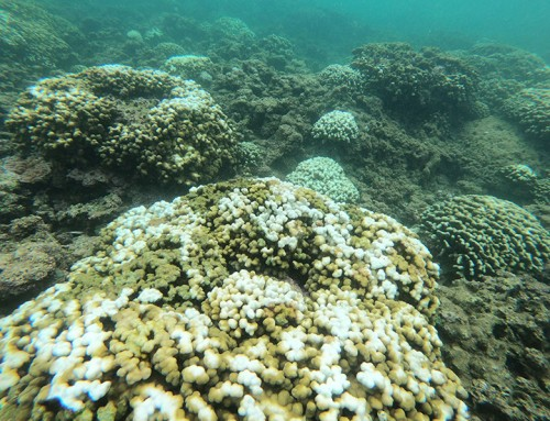 DLNR: Coral Bleaching Not as Severe as Predicted but Widespread (w/ video)
