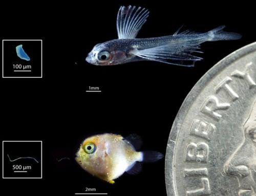 Ocean Fish Larvae Are Eating Plastic, Too