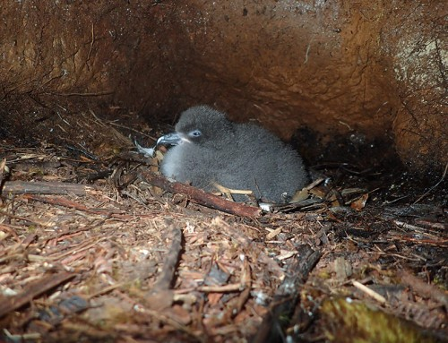 Feral Cat Kills Rare Hawaiian Petrel Chick Involved in Scientific Study